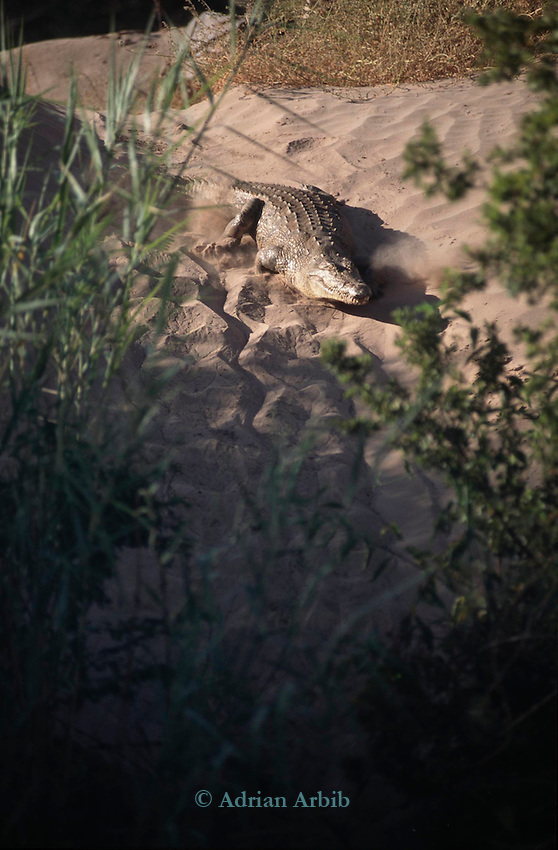A Crocodile on the bank of the Cunene River in the Namib desert, Northern Namibia.