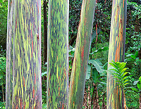 Trunks of Painted Eucalyptus trees. Maui, Hawaii.