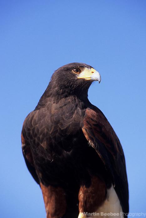 Harris's Hawk (Parabuteo unicinctus), Arizona-Sonora Desert Museum, Tucson, Arizona (captive)