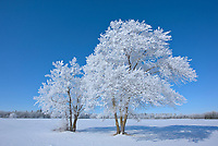 Hoarfrost covered cottonwood trees <br />