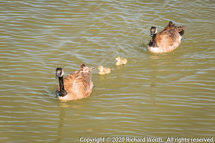 On a quiet and sunny spring afternoon, a family of Canada geese, two adults and two goslings, explore the waters at the Martin Luther King Jr. Regional Shoreline, Oakland, California.