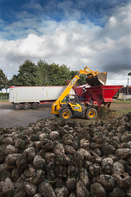 Contractors M &amp; J  loading lorries with sugar beet.<br /> Picture Tim Scrivener 07850 303986