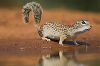 Mexican Ground Squirrel (Spermophilus mexicanus), adult drinking, Sinton, Corpus Christi, Coastal Bend, Texas, USA