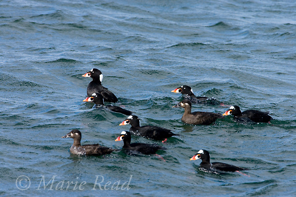 Surf Scoters (Melanitta perspicillata), flock of males and females swimming, Barnegat Inlet, New Jersey, USA