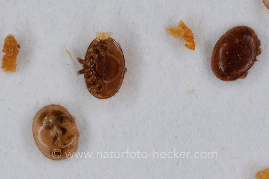 Varroamilbe, Varroa-Milbe, Varroa destructor, Varroa jacobsoni, varroa mite, parasitiert auf Honigbiene, Schädling, Parasit, Parasiten, Parasitismus, Varroose, Varroatose, Bienen Imkerei, Imker, Honig-Biene, Biene, Apis mellifera, Apis mellifica, honey bee, hive bee