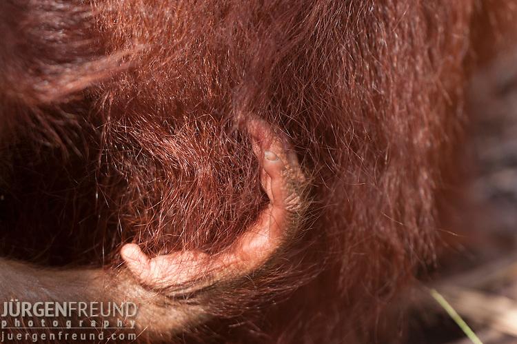 Bornean Orangutan hand (Pongo pygmaeus wurmbii) - juvenile