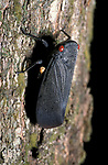 Red Eyed Tree Hopper, Hemiptera, Belize, black, at night, Central America