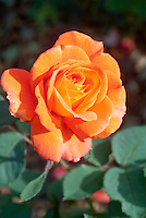 Rosa 'Picante' hybrid rose, orange with reddish shades