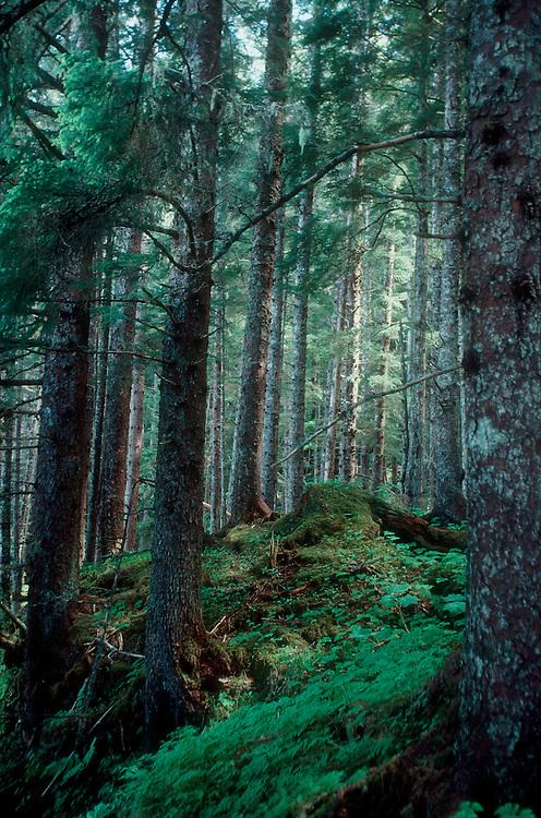 Alaska, Sitka spruce forest, Chichagof Island, Picea sitchensis.
