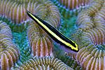 Elacatinus evelynae, Sharknose goby, Bahamas
