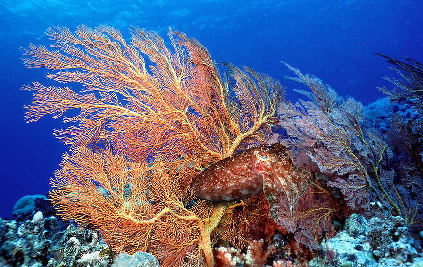 Fan Coral and Cuttle Fish Sepia