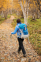 Female hiker hikes through autumn birch forest near Abisko at northern end of Kungsleden trail, Lappland, Sweden