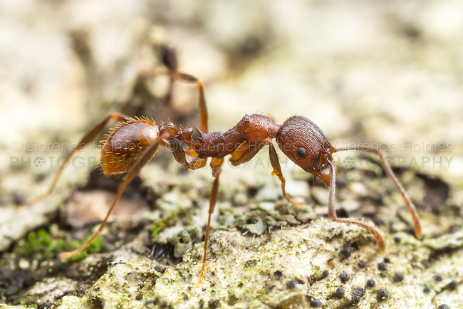 A Spine-waisted Ant (Aphaenogaster fulva) worker explores the surface of a fallen dead tree.