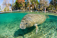 Florida Manatee, Trichechus manatus latirostris, A subspecies of the West Indian Manatee. A manatee enjoys the warm waters near the Three Sisters Sanctuary in Crystal River, Florida.