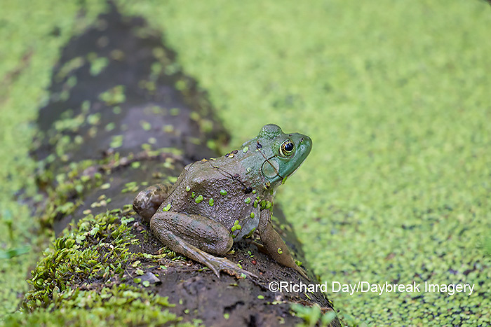 02471-00606 American Bullfrog (Lithobates catesbeianus) in pond with duckweed Marion Co. IL