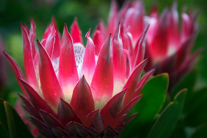 Close up of King Protea, (protea cynaroides). Maui, Hawaii