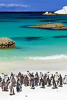 South Africa, near Cape Town, Simon's Town : Boulders Beach - Jackass penguins (Spheniscus demersus) | Suedafrika, bei Kapstadt, Simon's Town : Boulders Beach - Kolonie Brillenpinguine (Spheniscus demersus) |
