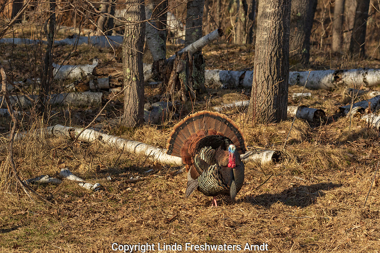 Tom turkey strutting for a hen in northern Wisconsin