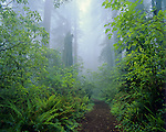 Redwood National Park, CA<br /> Damnation Creek trail leads through a foggy Redwood - Del Norte Coast Redwoods State Park