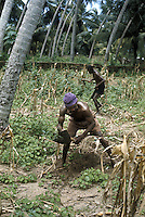 Men weeding field with hoes in Ghana