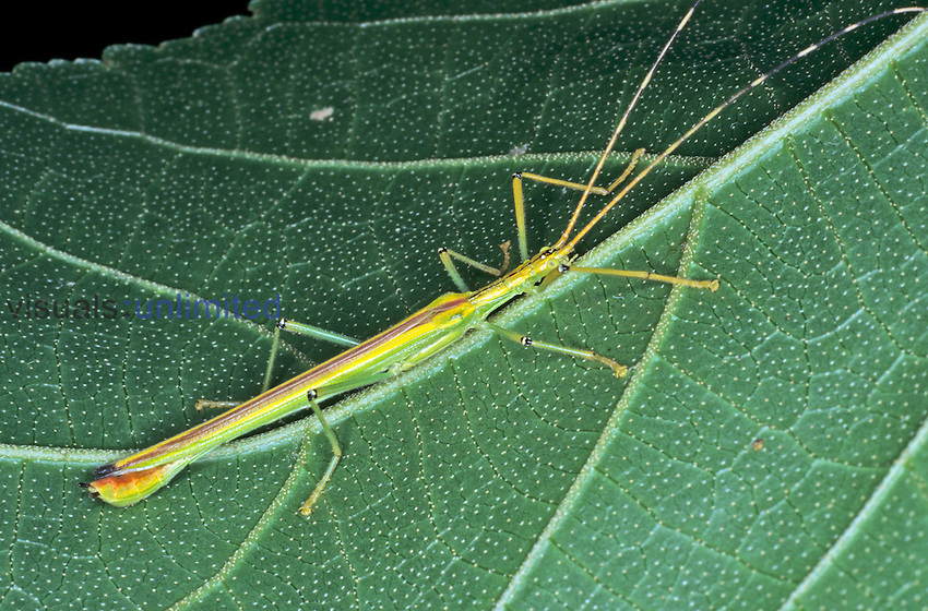 Stick and twig mimicry abounds in the rainforest. Here a Walking Stick is shown exposed on a leaf so that its stick-like shape can be easily seen, Rainforest, Costa Rica.