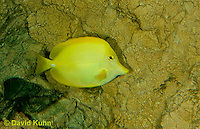 0517-1001  Yellow Tang (Somber Surgeonfish), Zebrasoma flavescens  © David Kuhn/Dwight Kuhn Photography