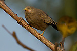 Yellow-billed Babbler (Turdoides affinis), Diyasaru Park, Colombo, Sri Lanka