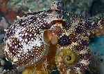 Oscelated Octopus , Deadly, Poisonous, Toxic Marine Creatures, Sponsor Marco Vincent Resort, Puerta Galera, Philippines