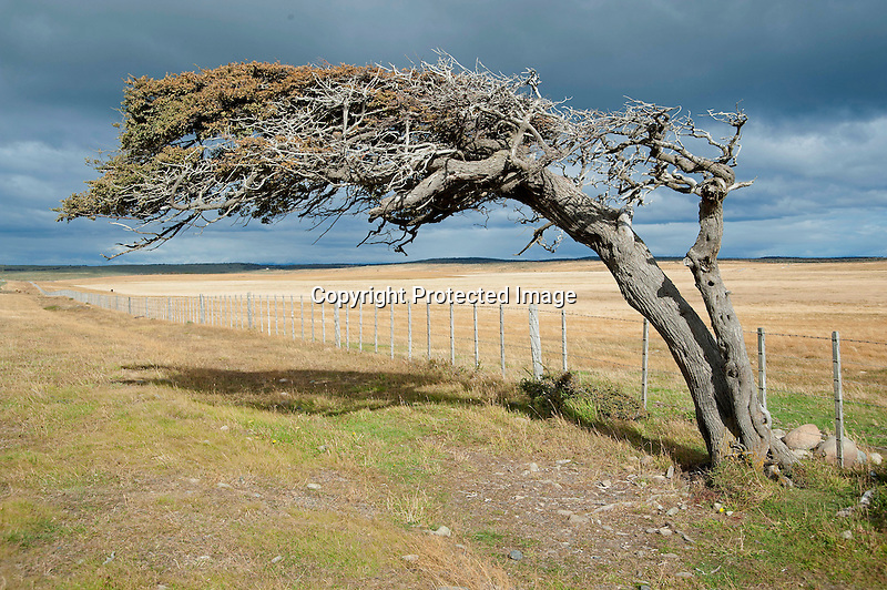 Windswept Southern Beech Tree on the Patagonian Steppe of Argentina