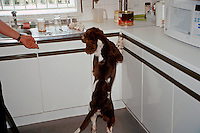 A police drugs sniffer dog searching an office kitchen for illegally imported drugs. This image may only be used to portray the subject in a positive manner..©shoutpictures.com..john@shoutpictures.com