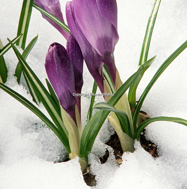 Crocus blooming through the snow in the Spring.