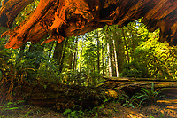 The view from beneath the roots of a fallen redwood tree in Redwood National and State Parks.