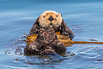 USA, Alaska, Glacier Bay National Park, sea otter (Enhydra lutris), endangered