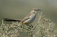 581970033 a wild lecontes thrasher toxostoma lecontei perches in a chapparal plant near maricopa in kern county california