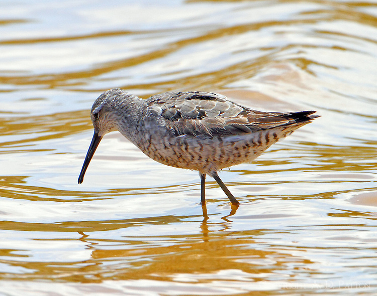 Stilt sandpiper in August