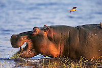 Common Hippopotamus (Hippopotamus amphibius) feeding in Lake Kariba, Matusadona National Park, Zimbabwe.
