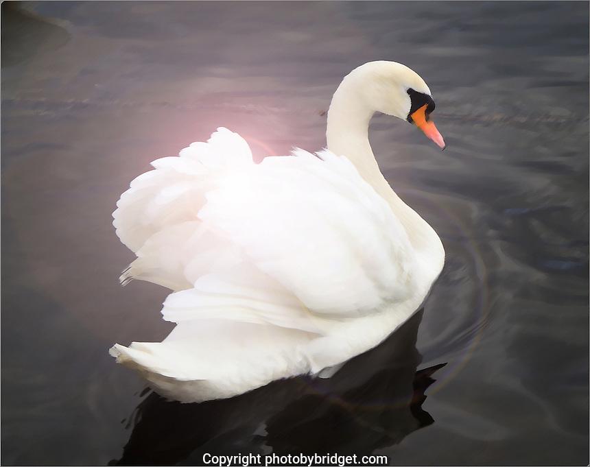 Swan on the Vlatva River Czech Republic.