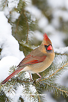 01530-21203 Northern Cardinal (Cardinalis cardinalis) female in spruce tree in winter, Marion Co., IL