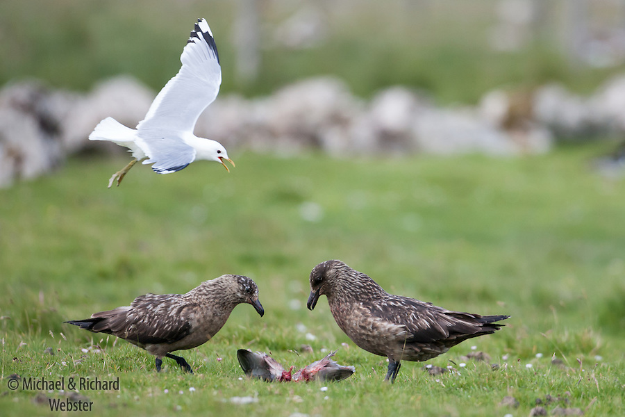 Top predators,  two Great Skuas killing a Common Gull chick whilst being themselves attacked by a parent