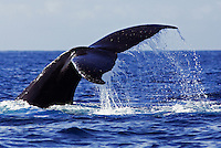 Water droplets flow off a humpback whale's tail as it dives, Maui, Hawaii.