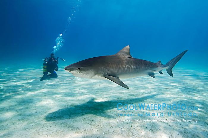 Tiger Shark, Galeocerdo cuvier, and scuba diver, West End, Grand Bahama, Atlantic Ocean