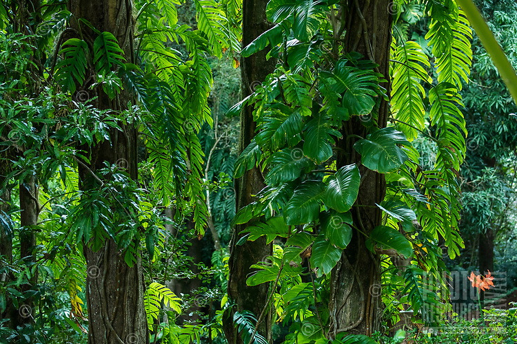 Rainforest jungle vines, leaves and trees, Kaua'i.