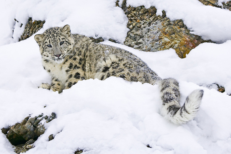Snow Leopard sitting on a snowy, rocky hill - CA