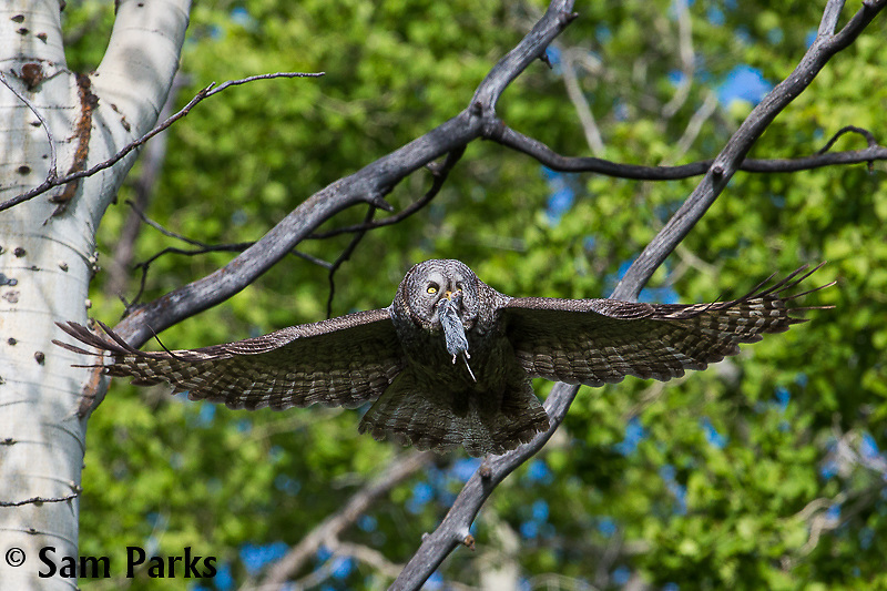 Great gray owl in flight with prey. Grand Teton National Park, Wyoming.