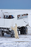 01874-11216 Polar bear (Ursus maritimus) near Tundra Buggy, Churchill, MB