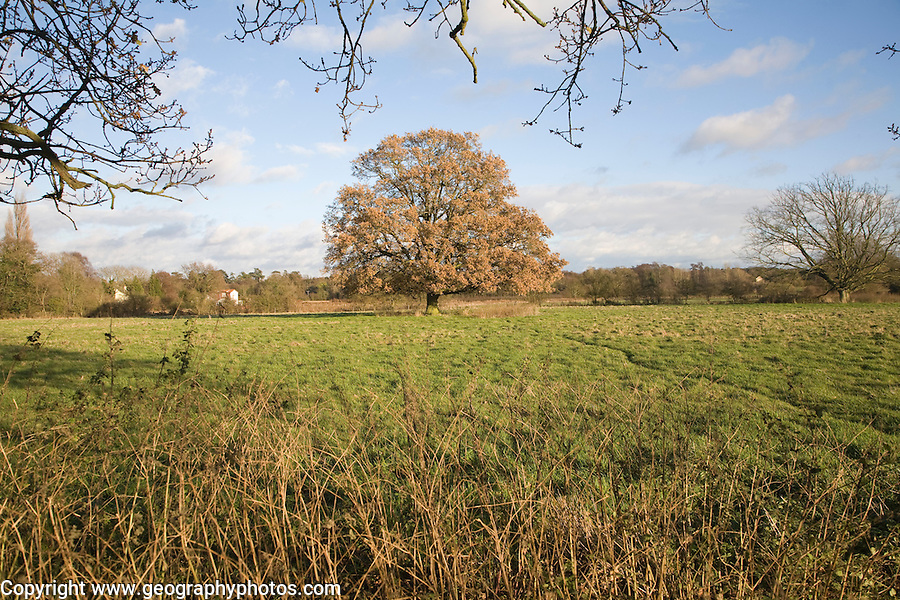 Quercus robur English oak tree standing alone in field in autumn leaf, Sutton, Suffolk, England
