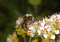 Red-tailed Bumblebee - Bombus lapidarius - male.
