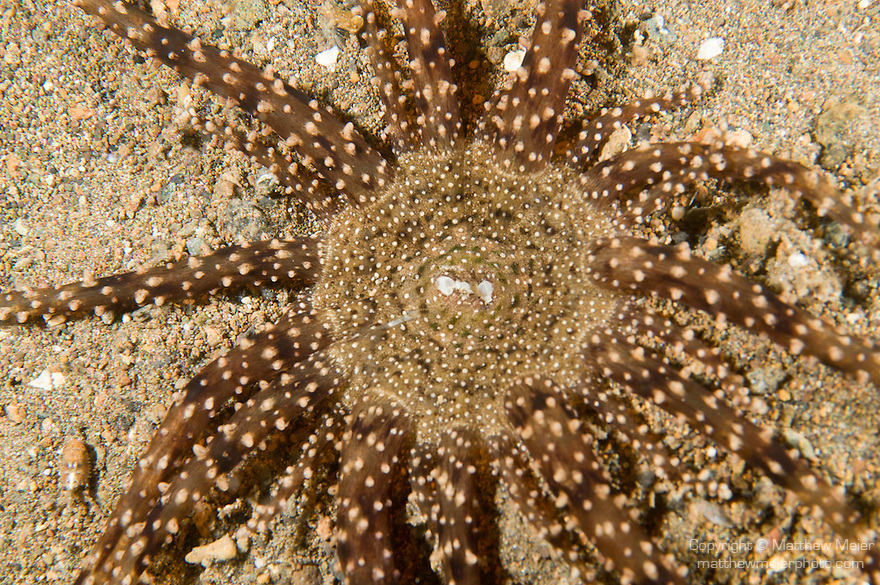 Anilao, Philippines; a brown and tan Burrowing Anemone (Edwardsia sp.) lies flat against the sandy bottom