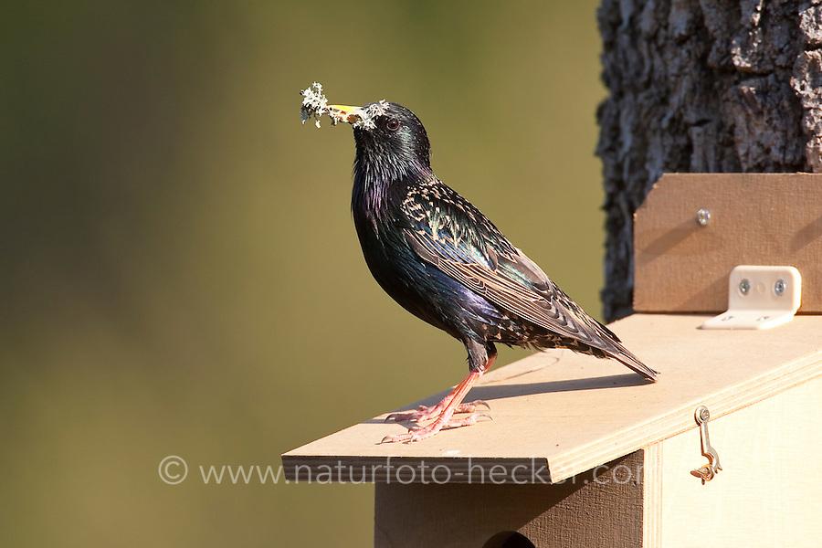 Star mit Flechte als Nistmaterial am Nistkasten, Nestbau, Sturnus vulgaris, European starling