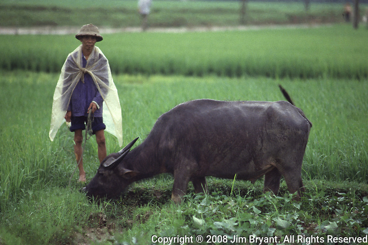Water buffaloes are still widely as draft animals on the outskirts of Hanoi, North Vietnam.  (Jim Bryant Photo).....